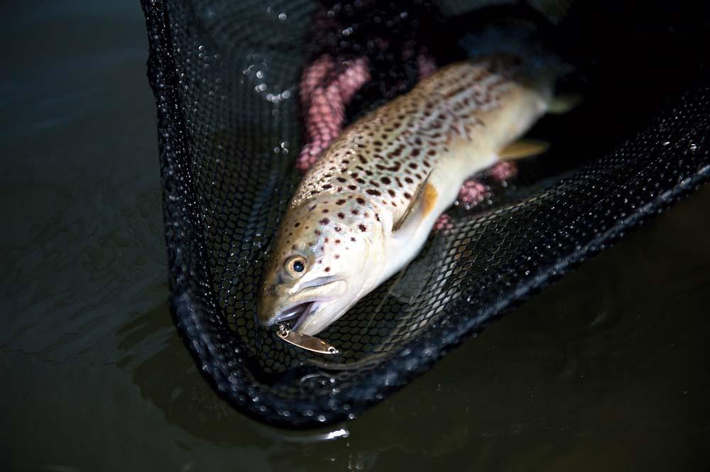 a spunky little brown trout