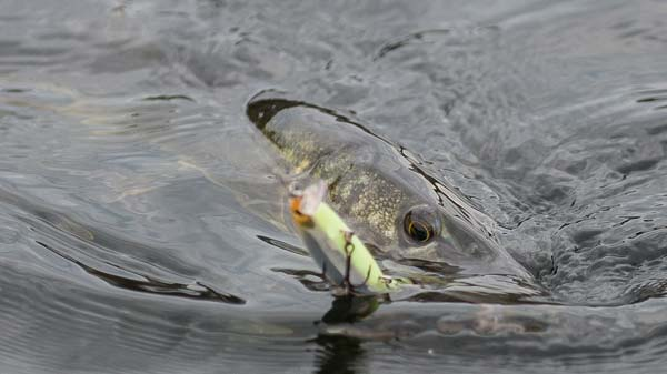 In the early spring, pickerel will be more active than largemouths