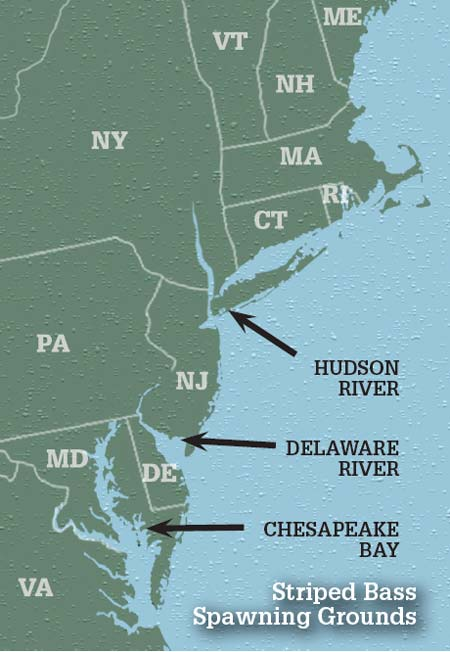 East Coast striped bass three major spawning grounds