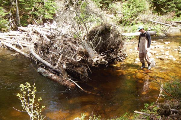 Stream-dwelling brook trout feed by waiting for insects to drift into their territory