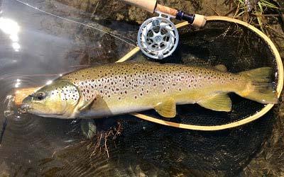 monster Farmington brown trout