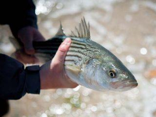 schoolie striped bass