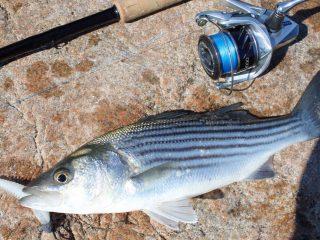 Schoolie sized striped bass