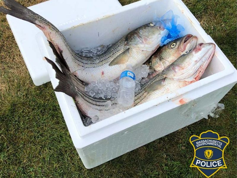Cape Cod Canal Striped Bass Poachers Busted - On The Water