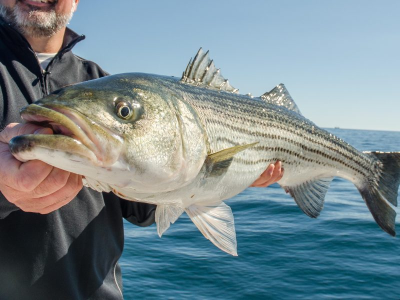 57d49ae1e5e5c MA Fishermen are Struggling to Catch Stripers - Does That Mean We ...