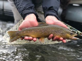 Bald Eagle brown trout
