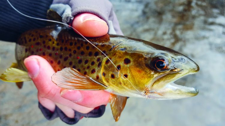 A brown trout caught on a midge fly.