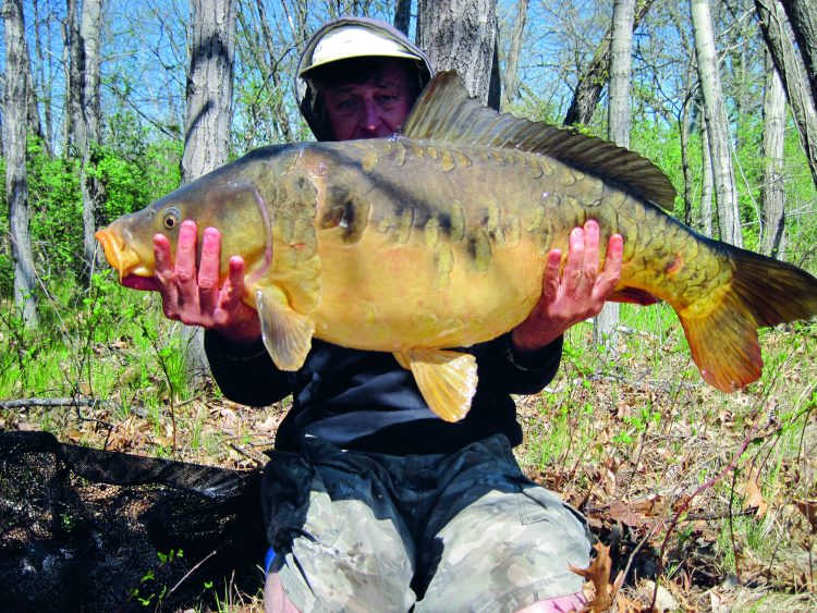 This 31-pound, 8-ounce mirror carp was landed by the author in the Blackstone River in Rhode Island. It is the largest known mirror carp ever landed in Rhode Island.