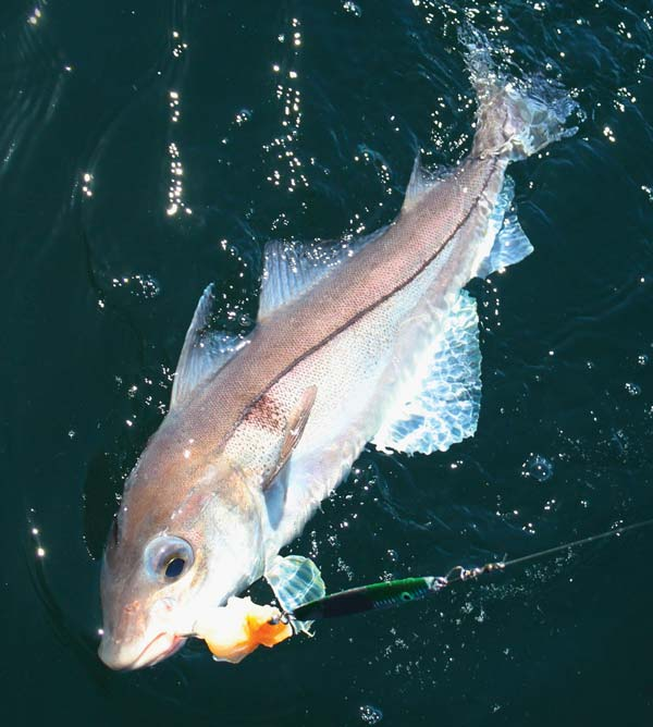 Haddock Fishing: One of the best lures for haddock is a jig.