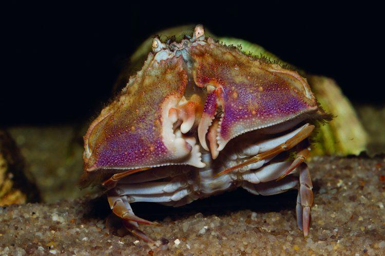 Shame face crab, shamefaced crabs