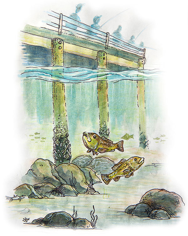 pier tautog pen and watercolor