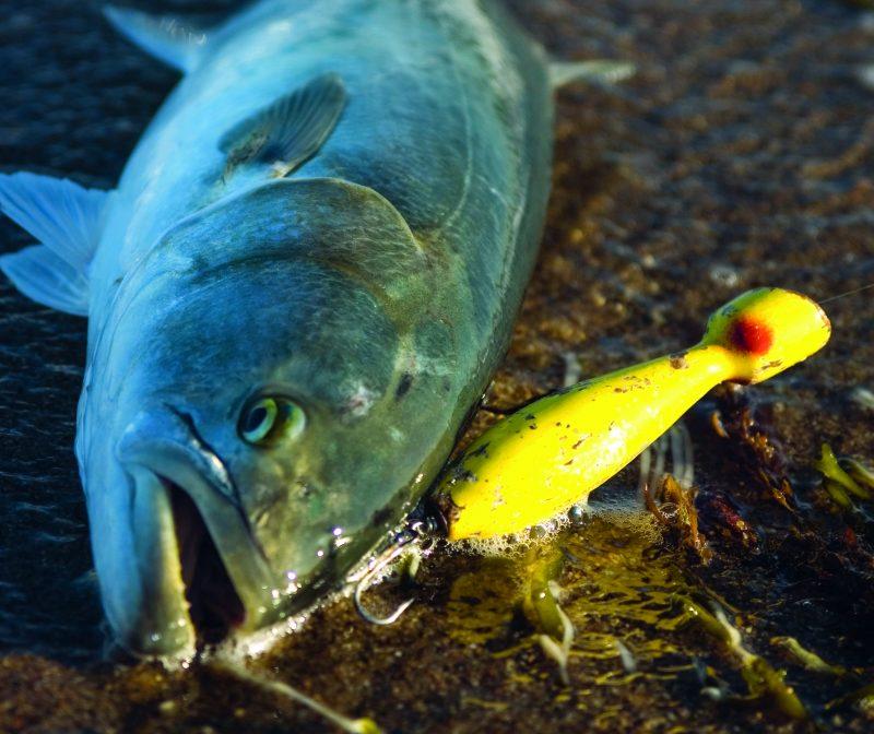 bluefish on plug