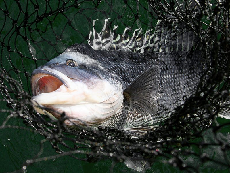 The biggest black sea bass of the season can be caught at offshore wrecks on party boats.