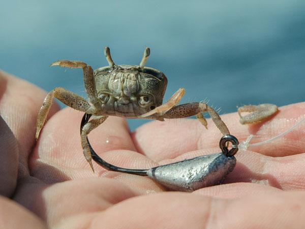crab on a jighead