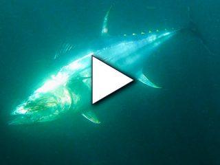 Cape Cod Giant Bluefin