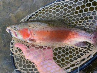 Mark Sausser rainbow trout