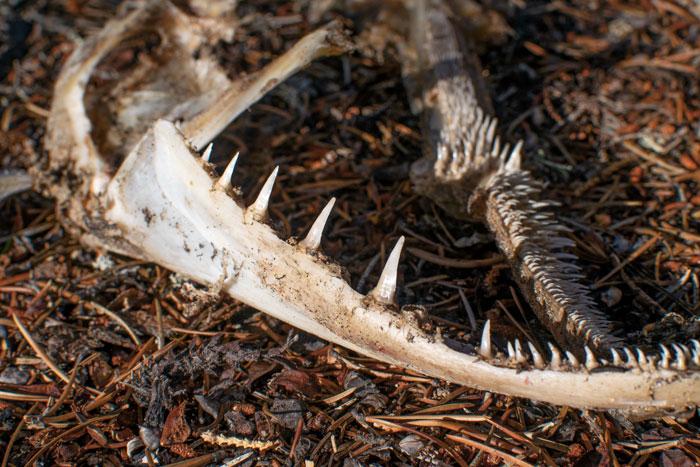 pike jawbone