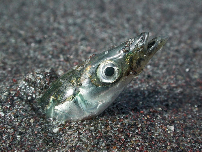When sand eels are around, the ocean comes alive with hungry predators ranging from striped bass to humpback whales.