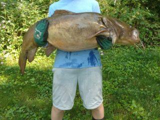 Ethan flathead catfish