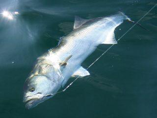 bluefish on diamond jig