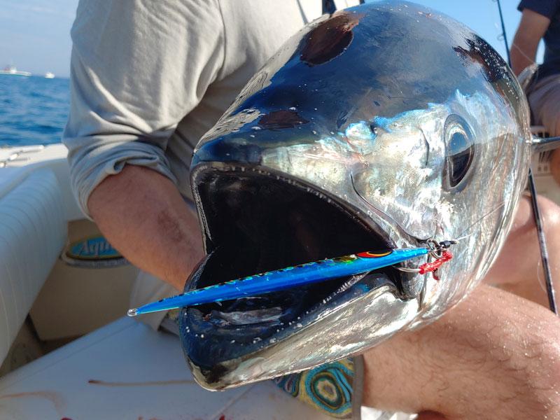 "bluefin on ""Blue sardine"" colored jig"