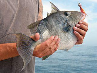 triggerfish on jig