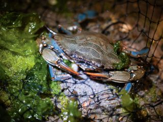 blue crab's scientific name, Callinectes sapidus