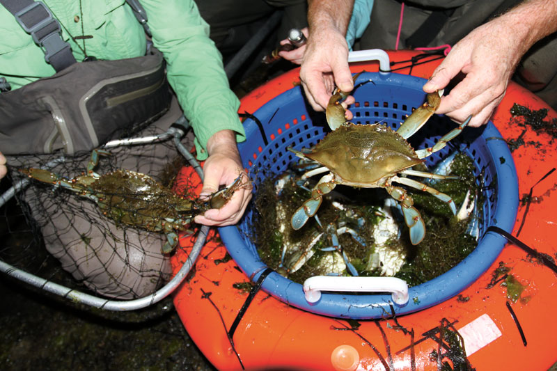 Adding seaweed to your crab caddy