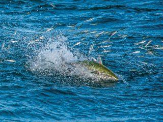 false albacore feeding on sand eels