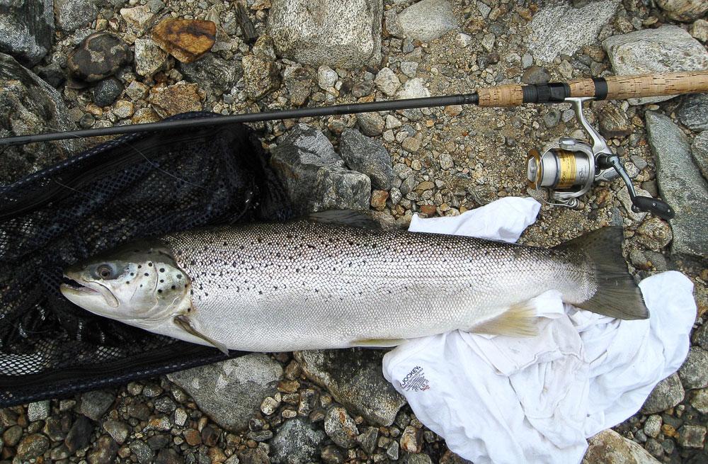 seeforellen brown trout Saugatuck Reservoir