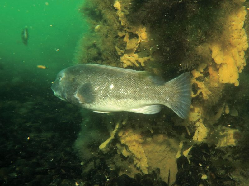 Tautog are visual predators, feeding on hard-shelled crustaceans and mollusks during daylight hours and quickly retreating to the shelter of structure as the sun goes down.