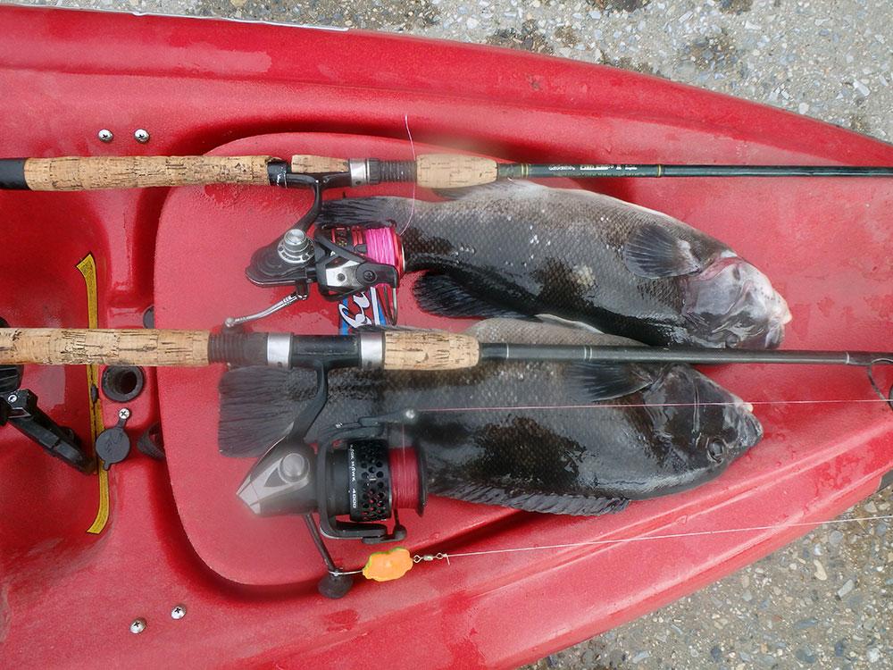 tautog on bow of kayak
