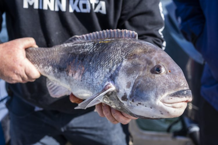 The world record tautog weighed 28-pounds and 13-ounces.