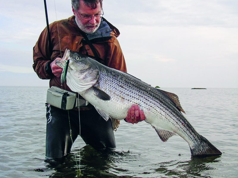 John Skinner holds a large striper caught on a pencil popper while fishing rocky shoreline.