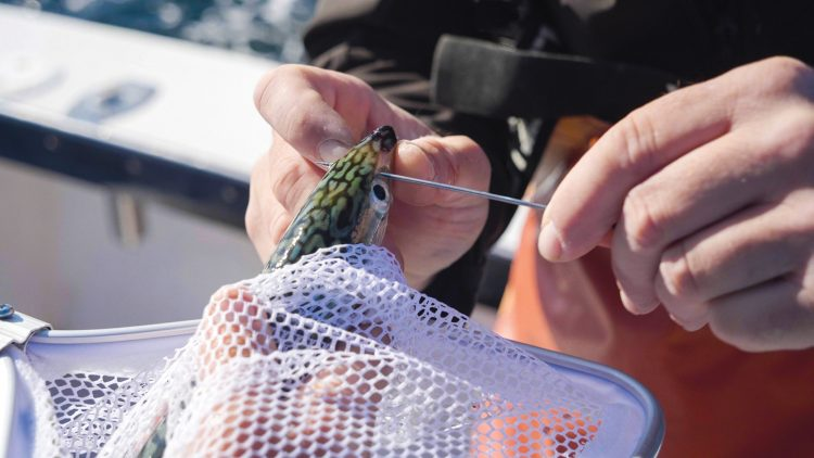Bridling keeps the baitfish livelier longer and leaves the hook fully exposed for better hooksets.