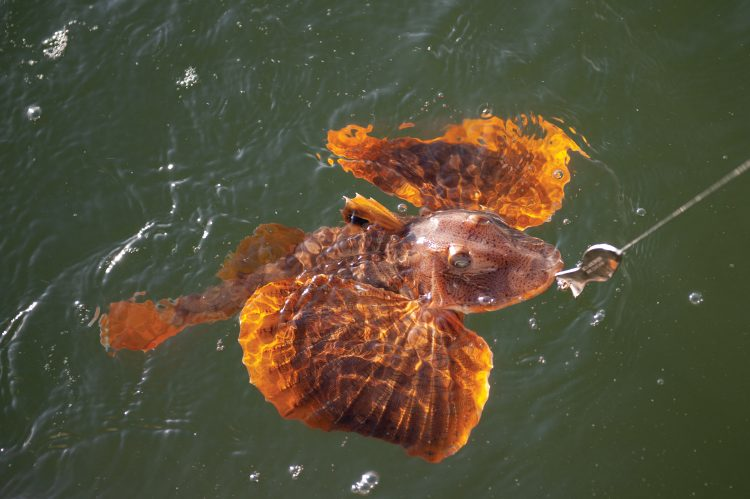The current world record sea robin is 4-pounds, and 8-ounces.