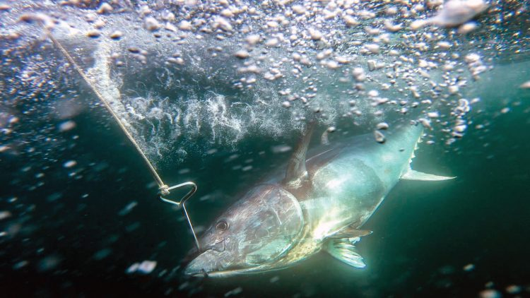 Towing a tuna behind the boat on a swim hook helps it recover from the long fight for a healthy release.