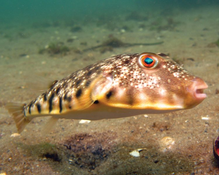The current world record northern puffer is is vacant.