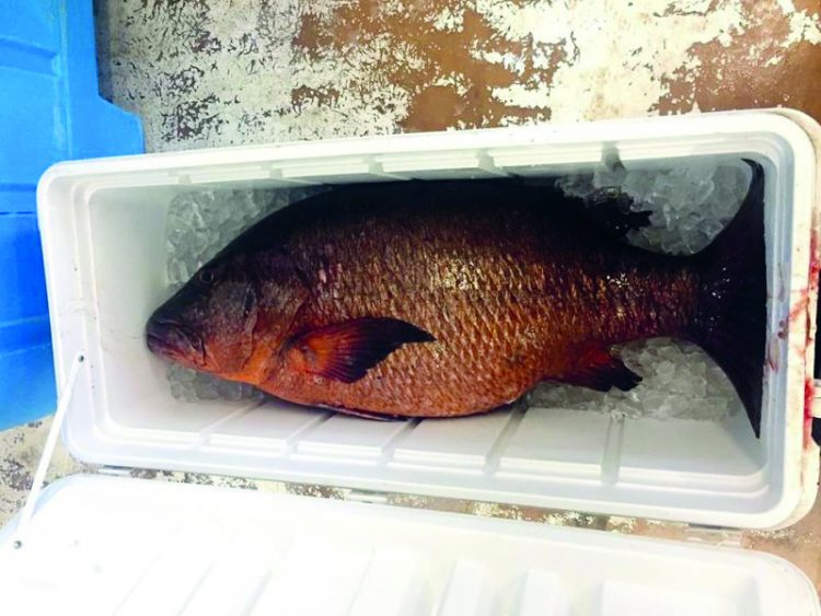 Cubera Snapper in Rhode Island (The Local Catch, Inc.)