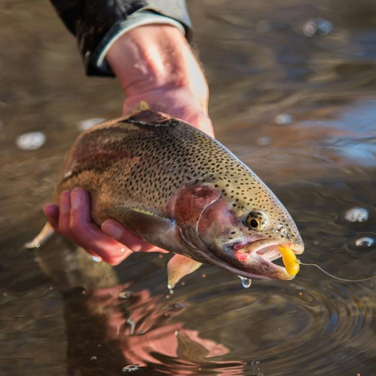 A kettle pond rainbow trout caught on a tube fly.