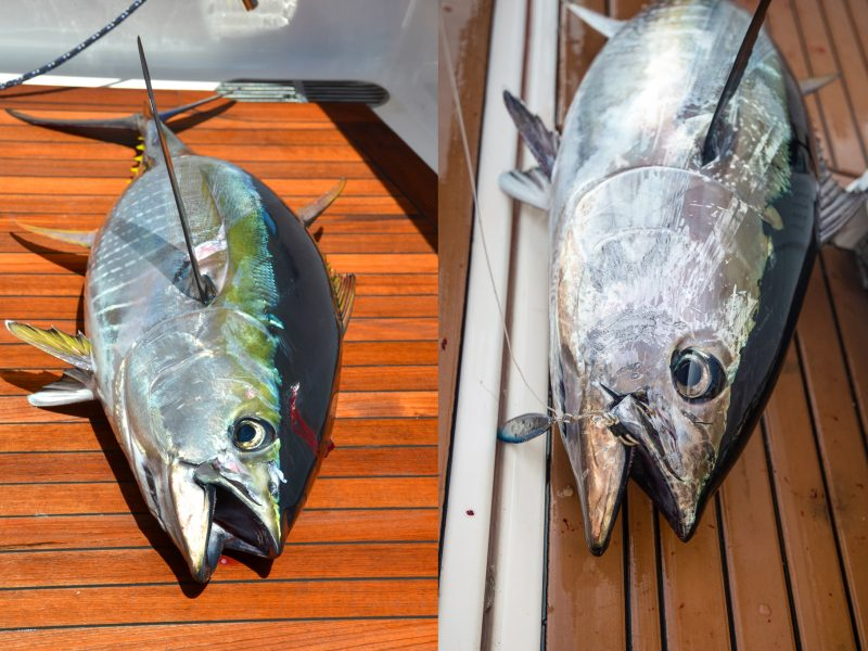 How to tell the differences between a bluefin and yellowfin tuna.