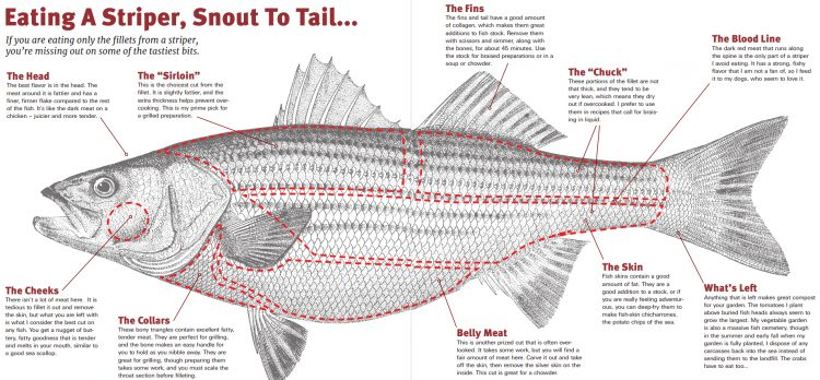 Clean a whole striped bass without wasting any meat.