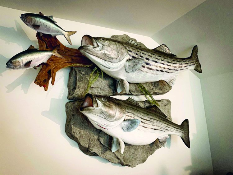 This one-of-a-kind mount shows Captain Blaine Anderson's two largest striper bass; a 64-pounder and a 57-inch estimated 74-pounder.
