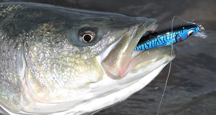 A striper caught on a Bomber Longshot Lure.