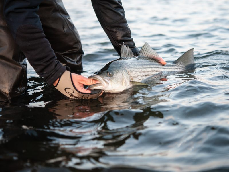 The Atlantic coastal states of Maine through Virginia have scheduled their virtual hearings to gather public input on the Atlantic Striped Bass Draft Amendment 7.