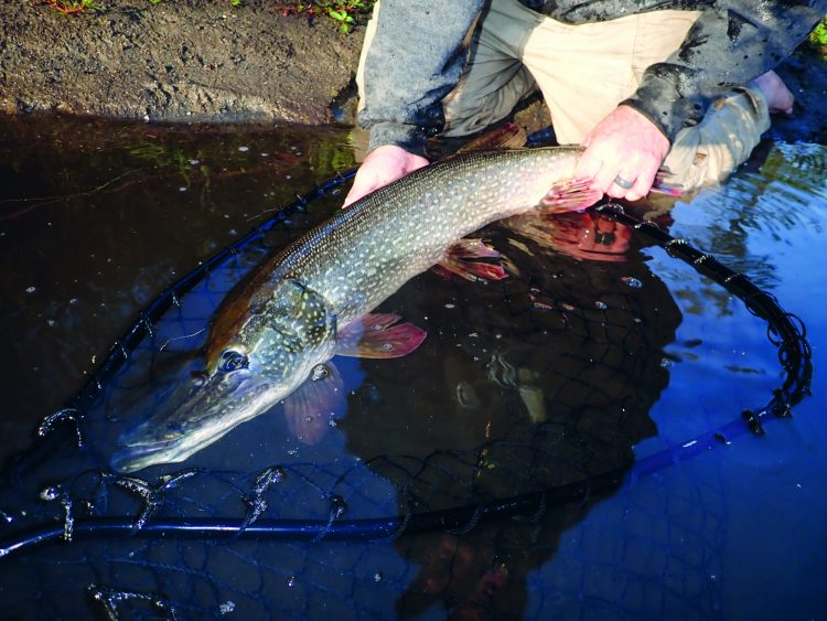 The strip-set is an essential part of pike fishing. Lifting the rod after the strike will pull the fly away from the fish.