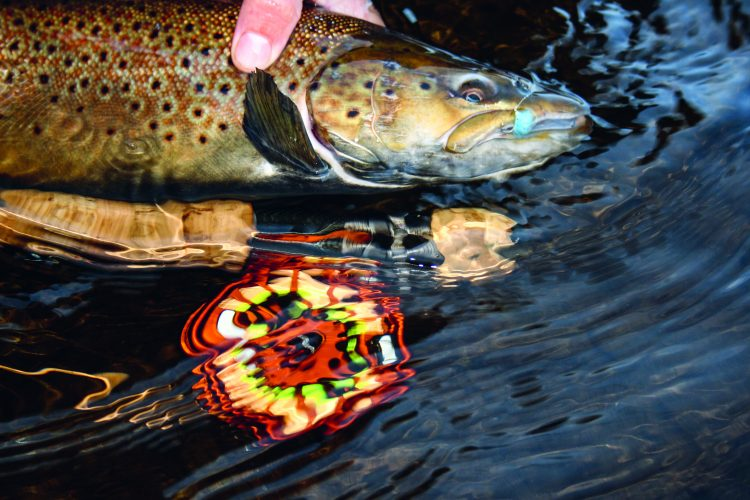 When brown trout return to the rivers in the fall to spawn, they gorge on salmon eggs along the way.