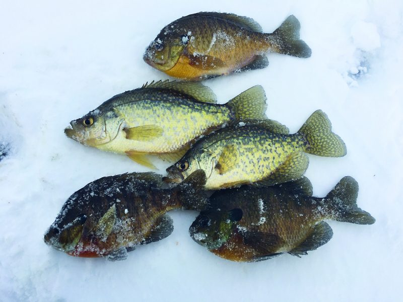 Use a hair jig on your next ice fishing trip to imitate common panfish food choices like zooplankton and aquatic insects.