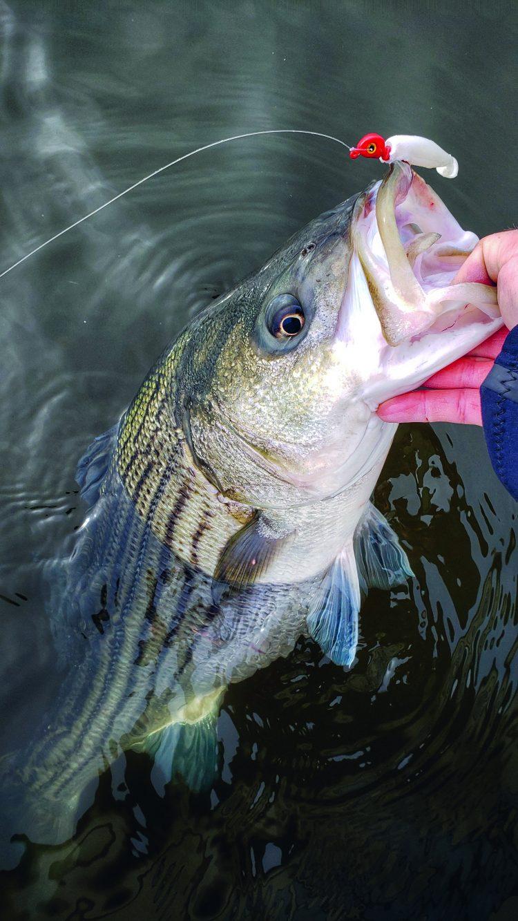 New Jersey Striped Bass