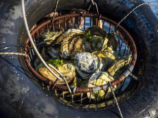 Andy Nabreski Cape Cod Oyster